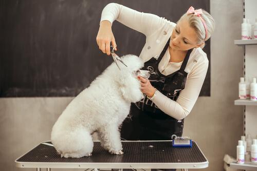 Cortando el pelo a un caniche