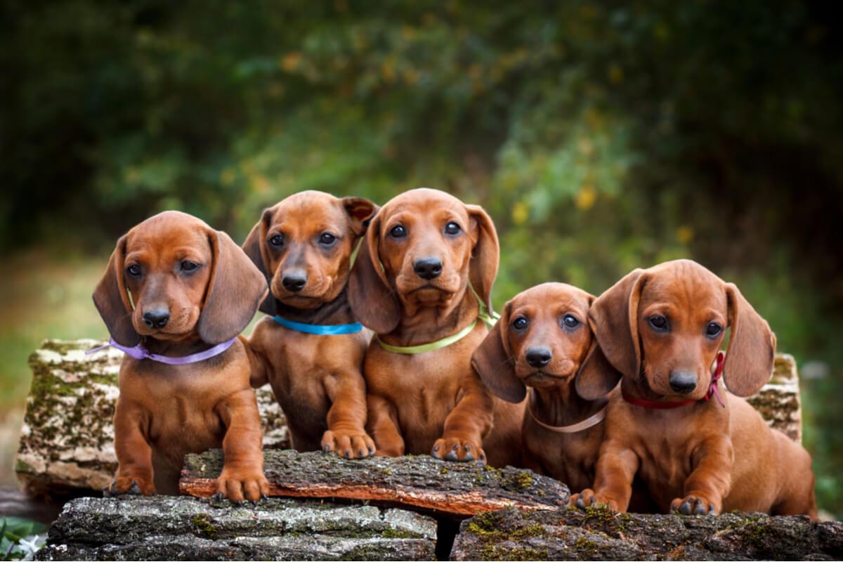 Una camada de crías de perro.