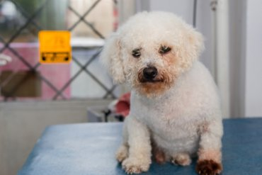 Dermatitis por Malassezia en perros
