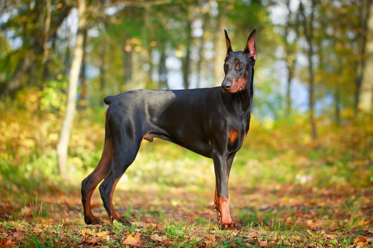 Un perro Doberman pinscher.