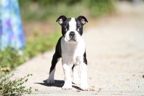 Estrabismo en perros: causas y tratamientos