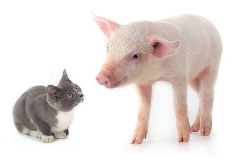 Gato y cerdo