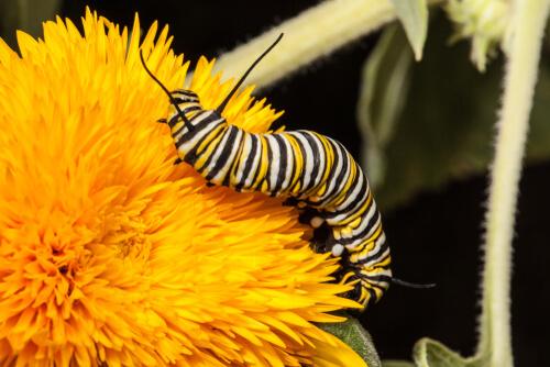 Gusano de mariposa monarca.