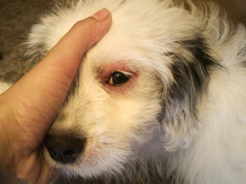 Infecciones oculares en perros
