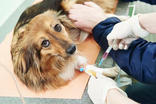 Inyección a un perro en el veterinario