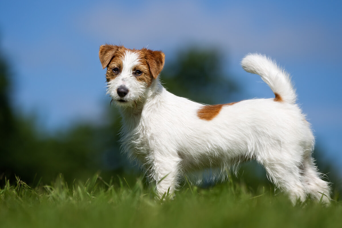 Un perro Jack russell terrier.