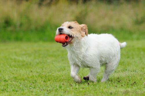 El kong desarrolla el olfato del perro
