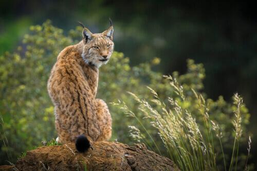 Lince en un centro de recuperación de animales silvestres