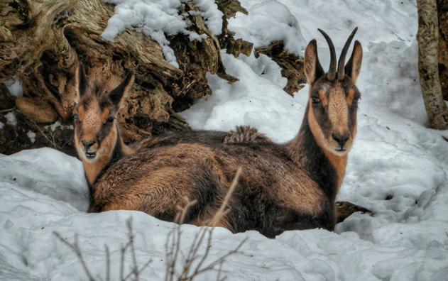 Sarrio, el rebeco de los Pirineos
