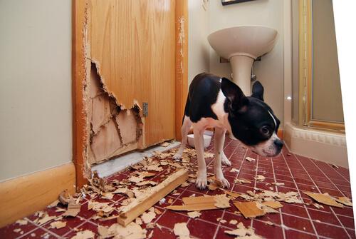 Bulldog ansioso en casa.