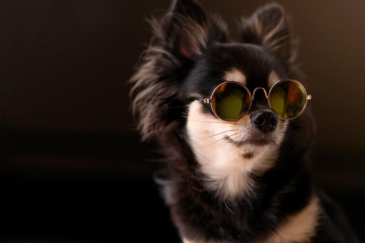 Un perro chihuahua con gafas de sol.