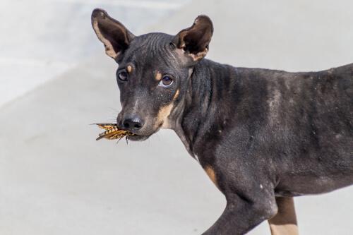 ¿Puede ser un problema si tu perro come insectos?