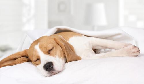 ¿Por qué mi perro está despierto durante la noche?
