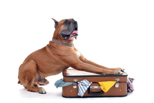 Perro haciendo la maleta