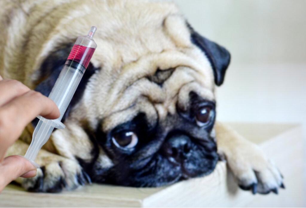 Bursitis por infección en perros: causas y síntomas