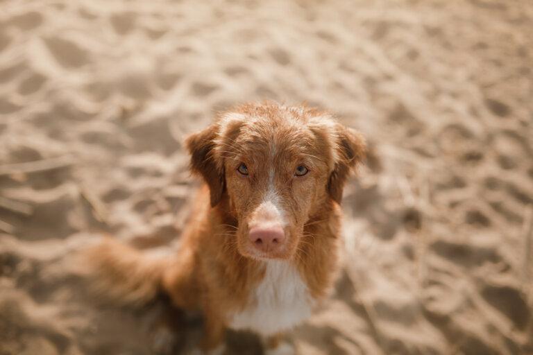 Lupus en perros: causas y síntomas