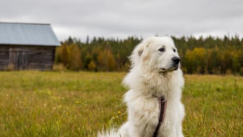 Perro de montaña pirenaico en el campo