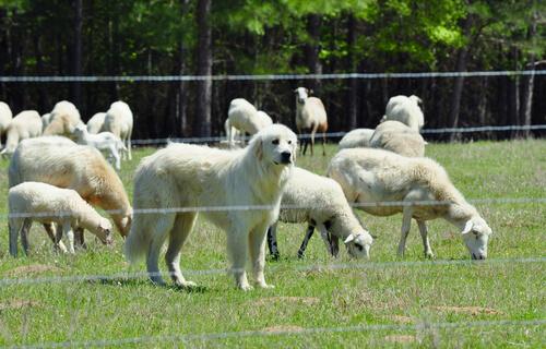 Perro de montaña pirenaico con ovejas