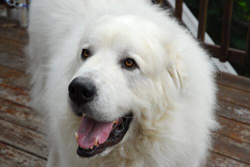 Perro de montaña pirenaico: todo lo que debes saber