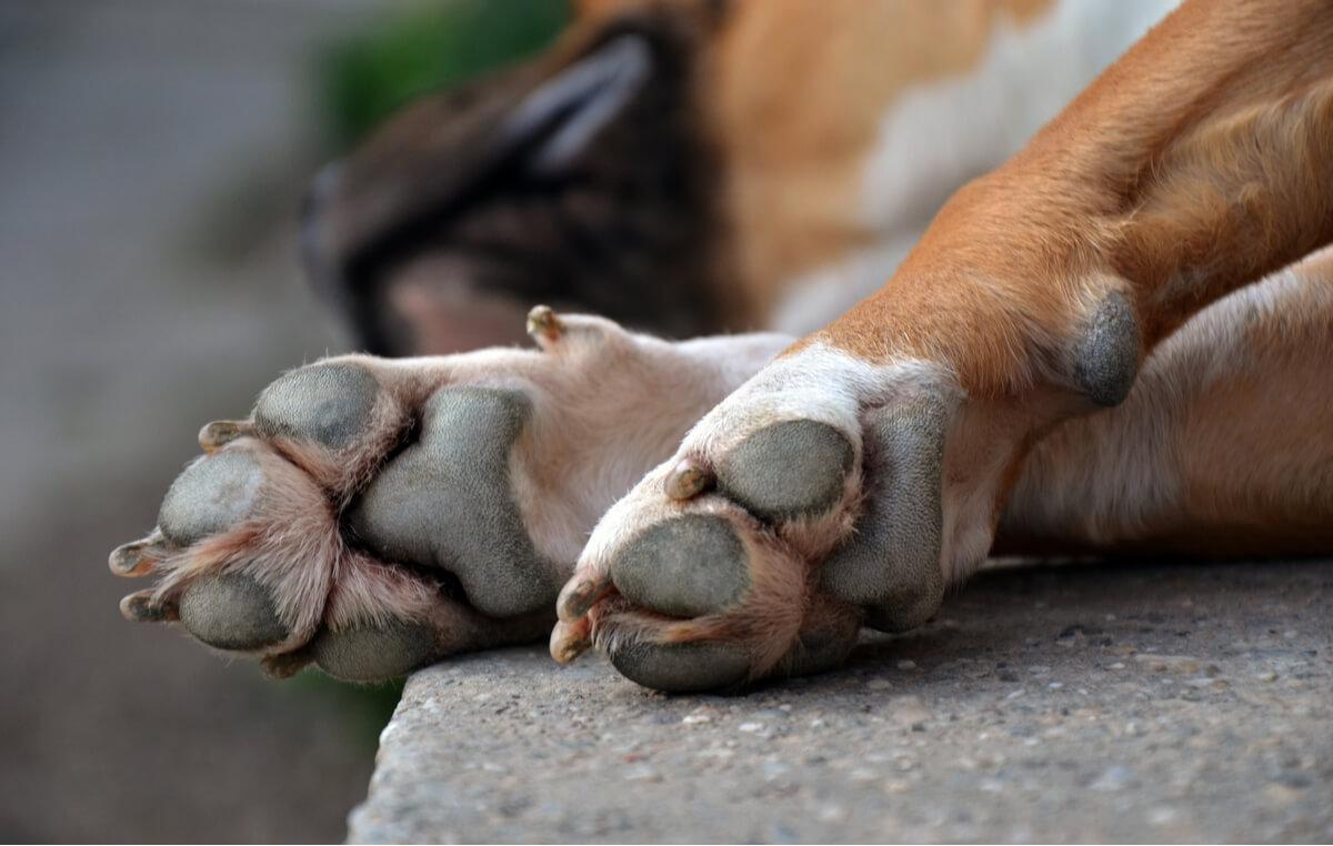 Lupus eritematoso en perros.