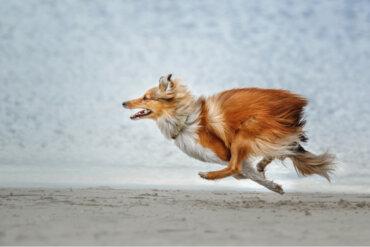 ¿Qué razas de perro tienen más probabilidades de escapar?