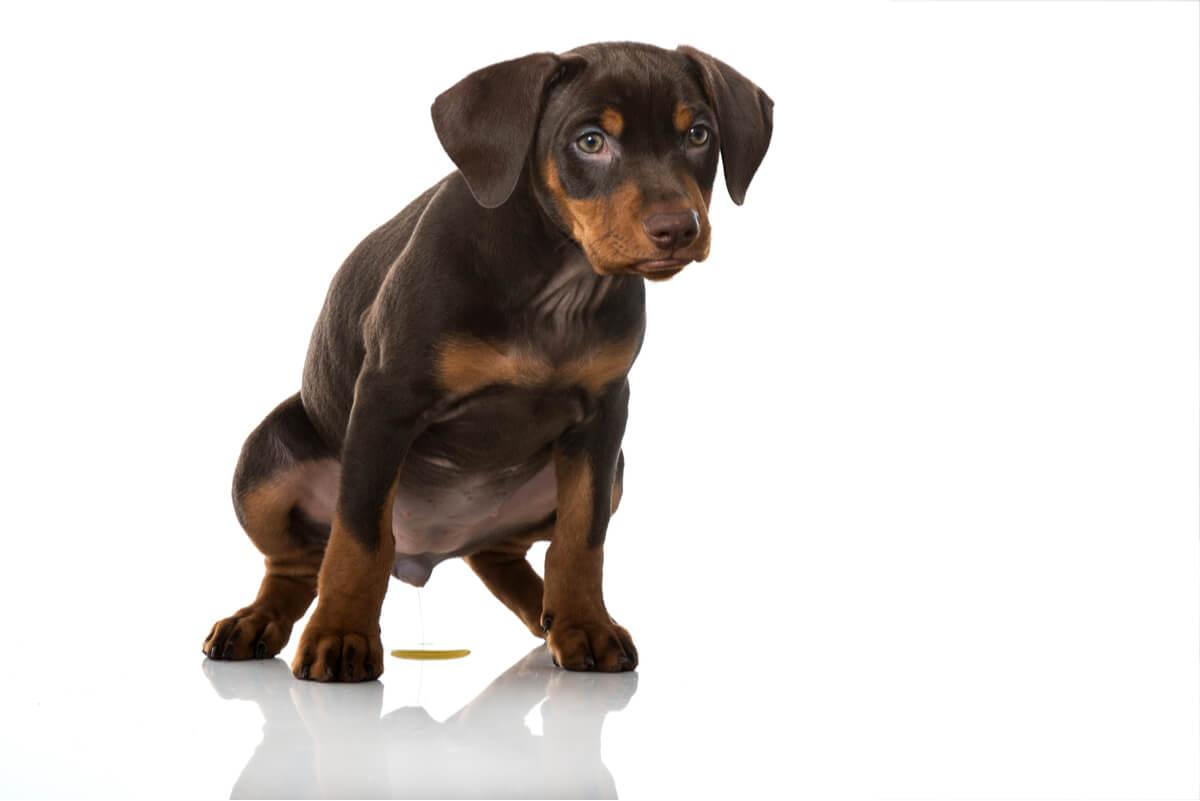La cistitis en perros es un evento común.