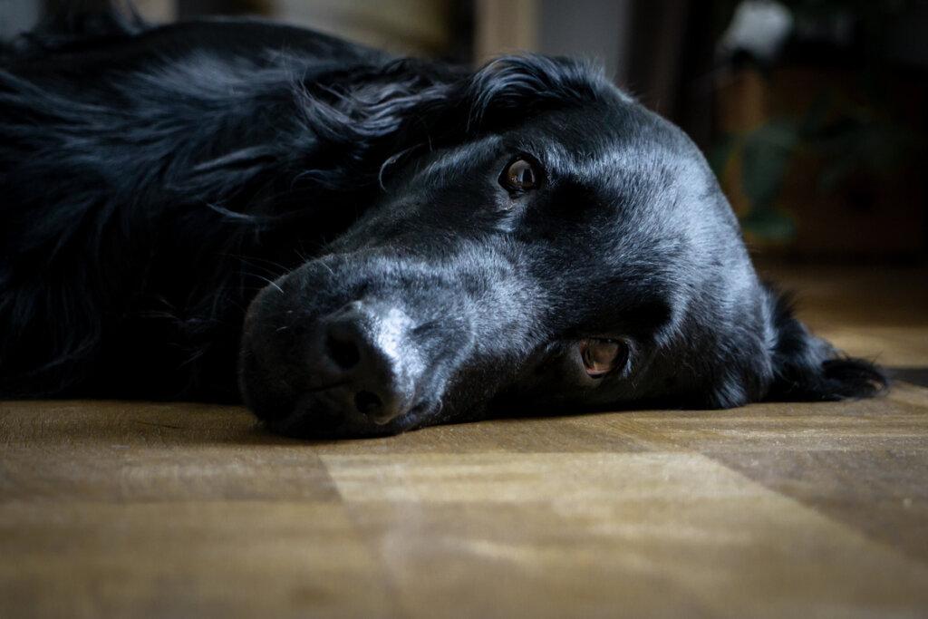 10 consejos para ayudar a un perro con depresión