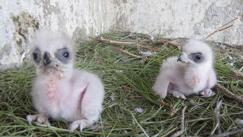 Pollos de águila Bonelli en un centro de recuperación de animales silvestres