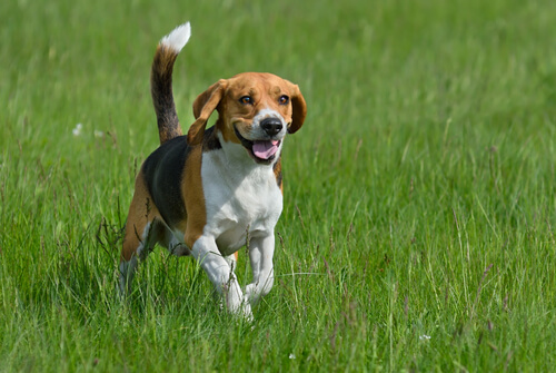 Cuáles son las razas de perros más enérgicas