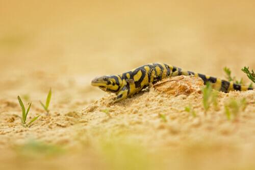 Salamandra tigre