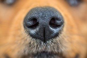 Cambios de color en la nariz de los perros ¿por qué suceden?