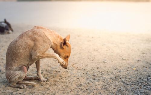 Síntomas de la sarna sarcóptica en perros