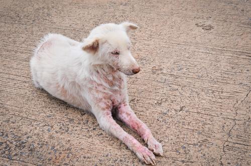 Síntomas de sarna en perros