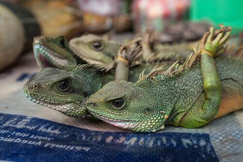 Tráfico ilegal de reptiles