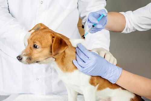 Veterinario vacunando a un perro