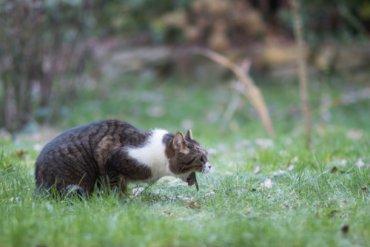 Vómitos agudos en gatos: causas y soluciones
