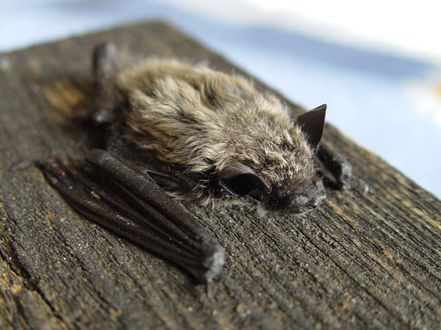 Pipistrellus kuhlii: bats of the Iberian Peninsula