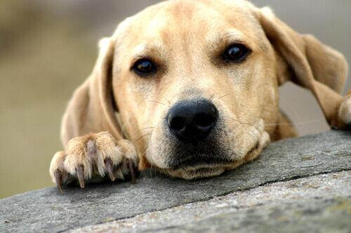 Adoptar un perro adulto
