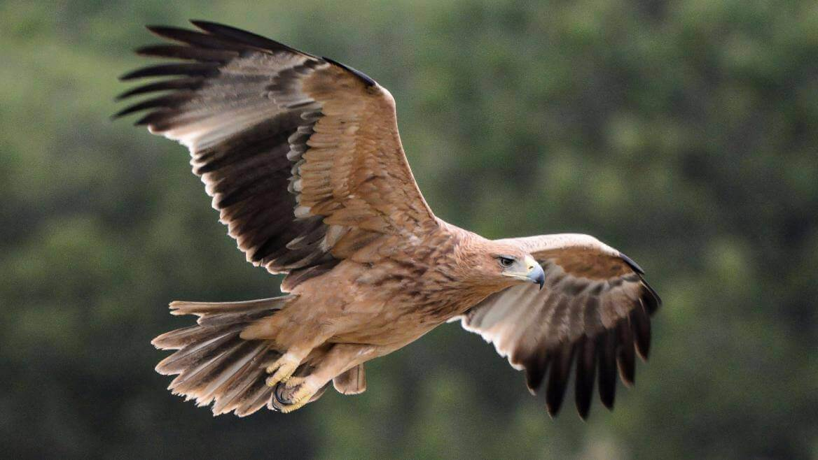 Águila imperial ibérica volando