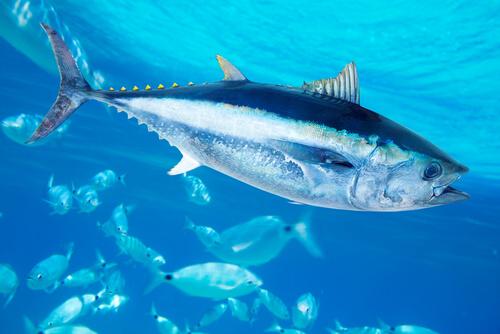 El atún rojo: alimentación y características