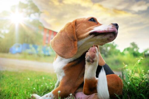 Beagle rascándose