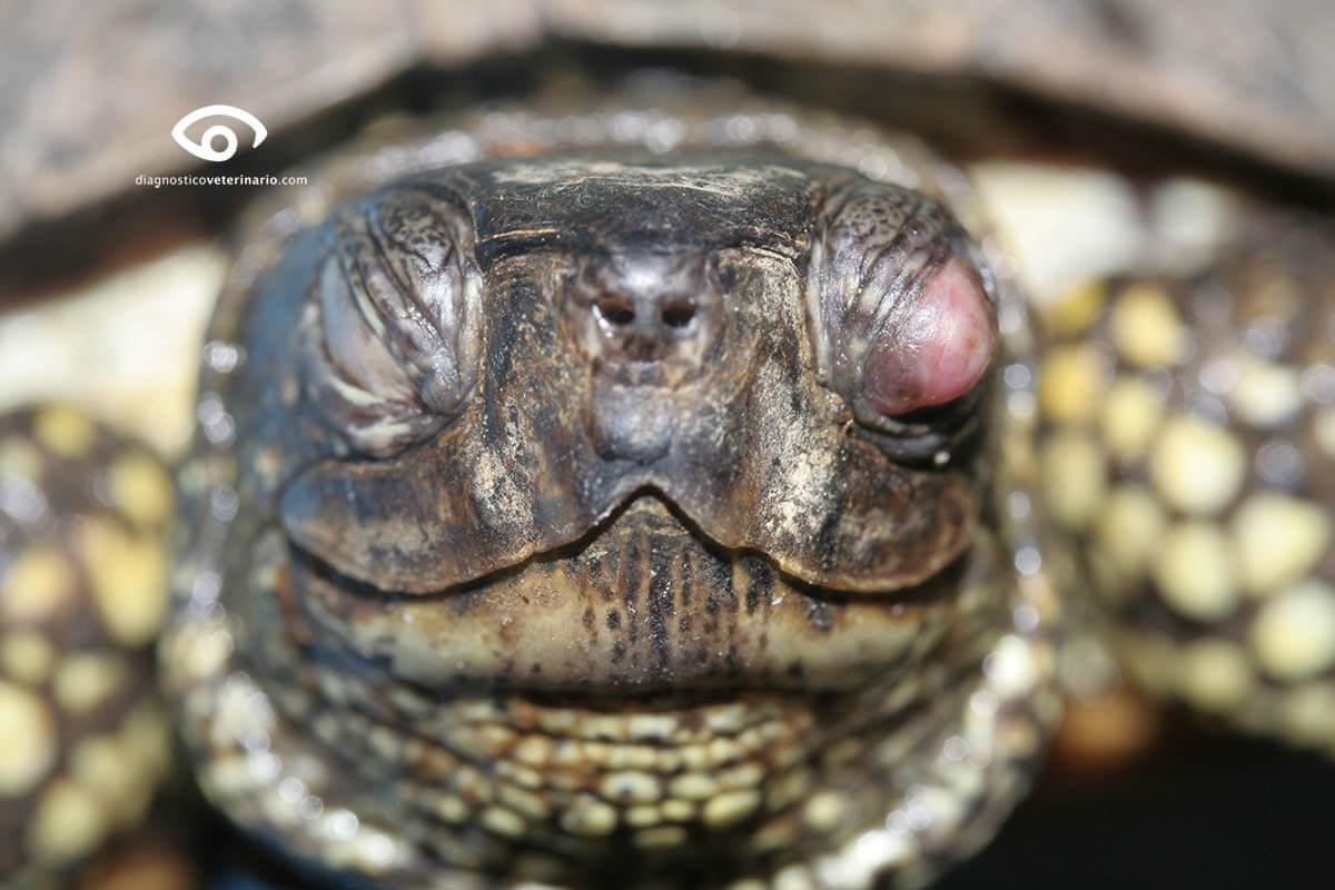 Hipovitaminosis A en tortugas domésticas.