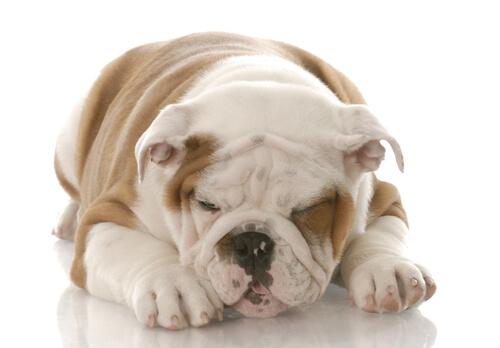Bulldog dormido