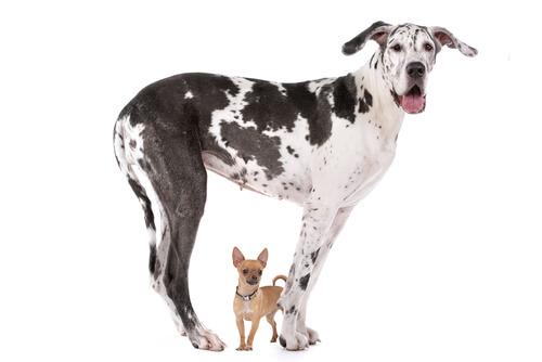¿Por qué los perros grandes no viven tanto como los más pequeños?