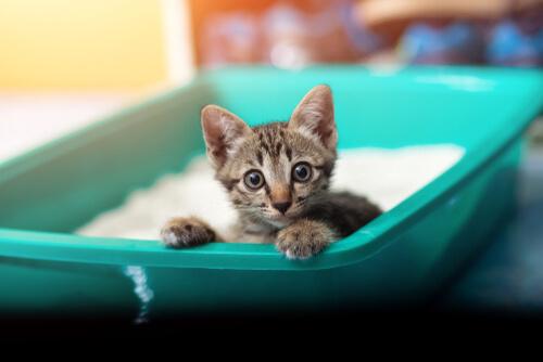Disentería en gatos: causas y síntomas