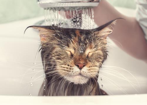 Duchar al gato es necesario cada cierto tiempo.