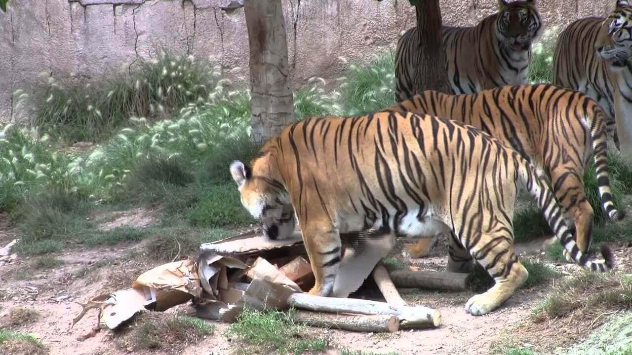 Enriquecimiento ambiental en grandes felinos a través de los sentidos