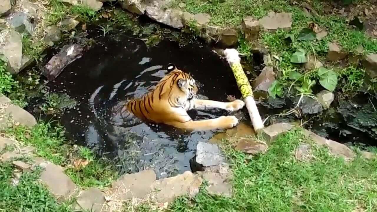 Enriquecimiento ambiental en grandes felinos de tipo físico