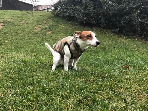 perro con próstata agrandada y luchando por defecar