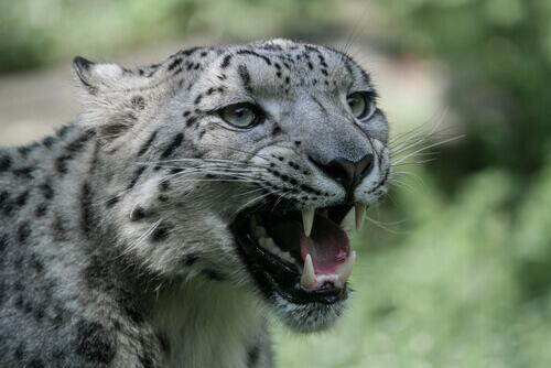 Fauces del leopardo de las nieves